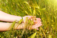 Woman's hands holding wheat ears Stock Images