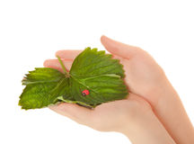 Woman's hands with leaves and toy lady bird Royalty Free Stock Photo