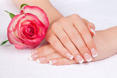 Woman's hands with perfect french manicure. Beautiful woman's hands with perfect french manicure near double delight rose stock image