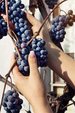 Woman's hands are taking down bunch of grapes in a garden Royalty Free Stock Images