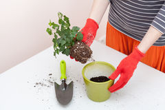 Woman`s hands transplanting plant a into a new pot. Home gardening relocating house plant Stock Photography