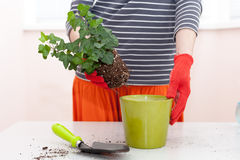 Woman`s hands transplanting plant a into a new pot. Home gardening relocating house plant. Royalty Free Stock Image