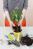 Woman`s hands transplanting plant a into a new pot. Home gardening relocating house plant. Stock Photography