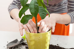 Woman`s hands transplanting plant a into a new pot. Home gardening relocating house plant. Stock Photo