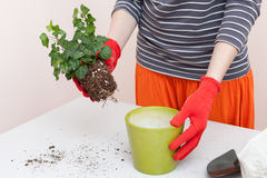 Woman`s hands transplanting plant a into a new pot. Home gardening relocating house plant Stock Image