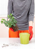 Woman`s hands transplanting plant a into a new pot. Home gardening relocating house plant. Royalty Free Stock Photography