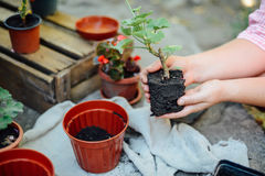 Woman's hands transplanting succulent into new pot. Gardening ou. Tdoors on a beton table Royalty Free Stock Photography