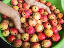 The woman`s hands washed apples in the pelvis stock photography