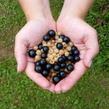 Woman's hands with a white and black currants Stock Images