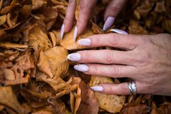 Free Woman`s Hands With Manicured Nails Collect Fallen Leaves Stock Images - 163955374