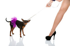 Woman's leg and dog in pink dress Stock Image