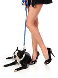 Woman's Legs and Boston Terrier Royalty Free Stock Images