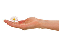Woman's palm with white daisy blossom Royalty Free Stock Photos