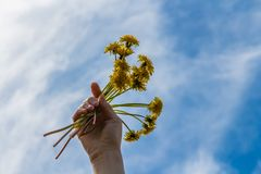 A woman`s right hand with yellow dandelions royalty free stock photography