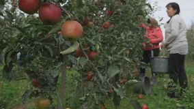 Woman`s tears off a red apple from an apple tree.  stock video footage