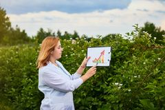 Woman scientist working in fruit garden and shows the level of crop growth using infographics. Biologist inspector examines blackb. Woman scientist working in royalty free stock photography
