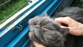 Woman scratches to a Persian cat on the balcony, a contented pet closes his eyes from pleasure. Woman scratches her chin to a Persian cat on the balcony of a stock footage
