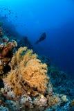 Woman scuba diver. Woman scubadiver exploring the reef Stock Photos