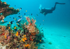 Woman scuba diver exploring sea bottom. Underwater life with beautiful corals and lots of colored fish Stock Image