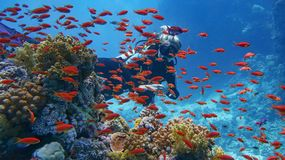 Woman scuba diver near beautiful coral reef - surrounded with shoal of beautiful red coral fish, anthias stock photography