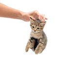 Woman seized kitten. By the scruff of the neck Royalty Free Stock Image
