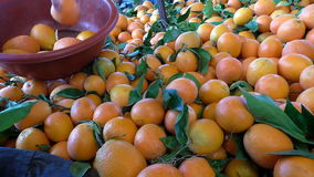 Woman selecting oranges from pile at the market. Woman is choosing orange fruits from the big pile at the oriental market and placing them into the plastic bowl stock footage