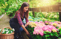 Woman selecting a pink hydrangea at a nursery. Woman selecting a pink hydrangea from amongst the stock in the greenhouse at a nursery, bending down with a smile Royalty Free Stock Photography