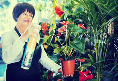 Woman seller demonstrating red anturion in flower shop Royalty Free Stock Photography