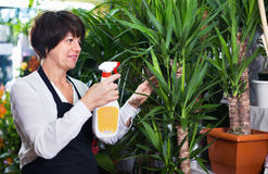 Woman seller tending yucca palm trees Stock Image