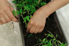Woman planting tomato seedlings in the ground. hands, close-up royalty free stock photos