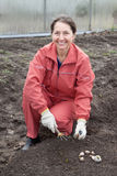 Woman  sets garlic in soil Royalty Free Stock Image