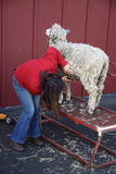 Woman Shearing Sheep Stock Images