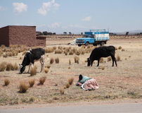 Woman Shepherd and cows in a farm, Bolivia Royalty Free Stock Photo