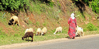 Woman shepherd and sheeps. Woman shepherd herding her sheeps Royalty Free Stock Photography