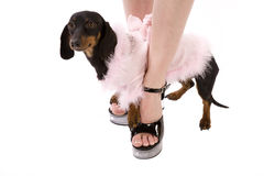 Woman shoe and dog Stock Image