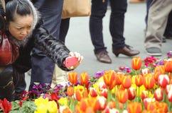A woman is shooting photos of tulips Stock Photos