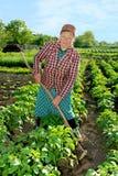 Woman shoots potato spud. Woman spud young shoots potatoes to increase yield royalty free stock image