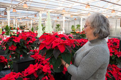 Woman Shopping for Poinsettias. A senior woman is holding and looking at a potted poinsettia plant in a nursery filled with this traditional holiday flower royalty free stock image