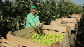 Woman showing apple harvest. Fruit gathering. Working in garden. Autumn season. Female worker smiling and boasting with apples stock video footage