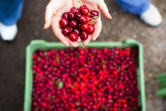 Woman holding cherry Stock Photography