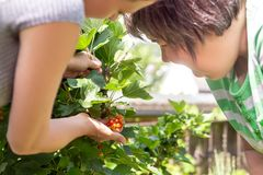 Woman is showing a mental disabled woman some currant berries. Woman is showing a mental disabled women some currant berries in the own garden royalty free stock photography