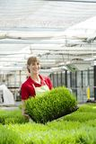 Woman showing wheatgrass in market garden royalty free stock images