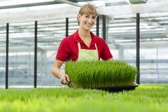 Woman showing wheatgrass in market garden stock image