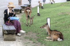 Woman and Sika deer in Nara, Japan royalty free stock photos