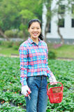Woman smile strawberry field Stock Images