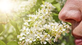 A woman sniffs blooming bird cherry and does not experience allergies. A person`s nose sniffs a sprig of cherry flowers. Spring. A woman sniffs blooming bird stock photo