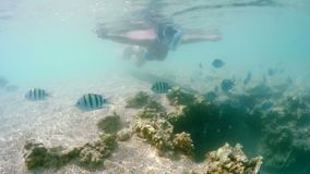 Woman snorkel swim in shallow water with school of coral fish, Red Sea, Egypt. Woman snorkel swim in underwater exotic tropics paradise with school of fish and stock video footage