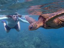 Green Sea Turtle in Close Up Profile with Snorkeler in Background royalty free stock images