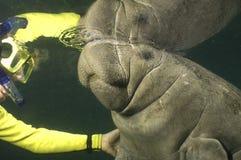 Woman snorkeler and manatee