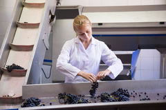 Woman sorting grape for wine at transporter Stock Images